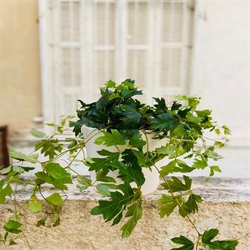 עציץ ירוקים בכלי