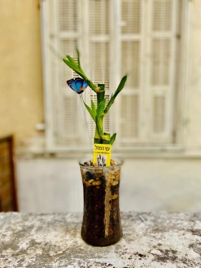 עץ מזל לאקי במבוק