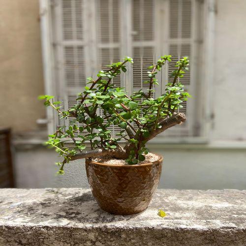 עציץ בונזי
